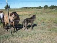 Miniature horse herd- 17 total, 9 mares, 1 stud, 7