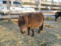 Miniature Horse - Lil Man (avail To Sponsor) - Small -