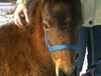 Miniature Horse - Lil Wrangler - Small - Baby - Male -