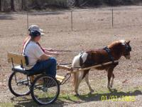 6 year old miniature pinto mare for sale. She is an