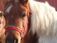 Miniature Horse - Miss Chips - Small - Adult - Female -