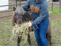 Miniature Horse - Rajah - Small - Adult - Male - Horse