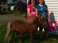 Miniature Horse - Rave - Small - Adult - Male - Horse