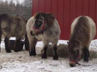 2 mini horse geldings @6yrs; 2 mini horse mares @5 yrs;