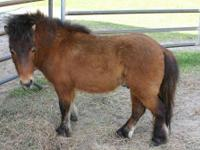 Miniature Horse - Sonny - Small - Young - Male - Horse