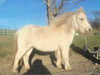 Miniature Horse - Spitfire - Small - Adult - Male -