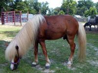 "Please meet ""King"". He is a 7 year old miniature horse"