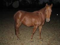 Miniature Horse - Vester - Small - Young - Male -