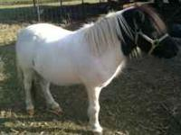 one 9yr. old gelding, white with black head. broke to