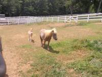 THREE MINIATURE HORSES, MOM DAD AND 4 WEEK OLD ( AS OF