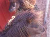 Two Miniature horses for sale. No papers. One male one