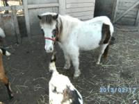 Two miniature horses. Both Shela's. One is red w/