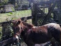 1 HAVE THREE MINIATURE HORSE FOR SALE . RED SORREL 32""