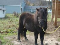 I have several Miniature horses for sale: 1st is a stud