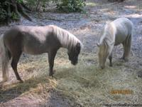 2 MINIATURE Horses for sale, 1 Mare, white 1 1/2 years