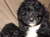 Multi-generation miniature labradoodles. They are black