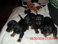 Sweet long hair miniature dachshund puppies. Ready to