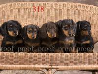 AKC miniature longhair dachshunds. reds-chocolate-black