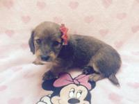 Purebred Miniature Long Haired dachshund female, she is
