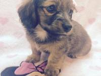 Female miniature Longhaired Dachshund, 11 weeks old,