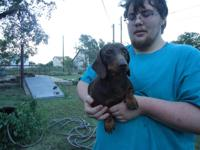 Male Chocolate&& Tan Miniature Dachshund with green