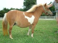 Sweet 7-8 year old mini mare for sale. She is a pretty
