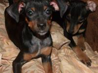 MIN PINS females only 14 weeks , first shots and wormed