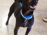 Miniature Pinscher - A3265343 - Small - Adult - Male -