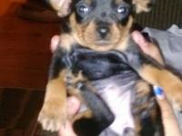 Miniature Pinscher - Abe - Small - Baby - Male - Dog
