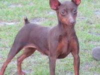 (2) Min pins 2yrs. old Chocolate Females $250 EACH AKC
