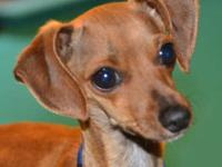Miniature Pinscher - Amadaeus - Small - Young - Male -