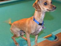 Miniature Pinscher - Amadeus - Small - Young - Male -