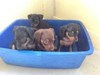 Register AKC/CKC 6 weeks old Miniature Pinscher. 2