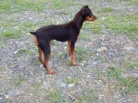 Blk/Tan in tact female. Practically 4 years of ages. No