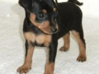 I have a 9 week old ckc miniature pinscher for sale.