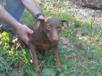 Female chocolate min pin. Purebred min pin even has a