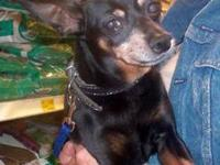 Miniature Pinscher - Arti - Small - Young - Male - Dog
