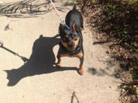 Miniature Pinscher - Baxter - Small - Adult - Male -