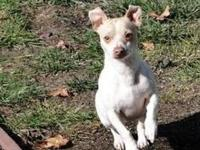 Miniature Pinscher - Bella - Small - Young - Female -