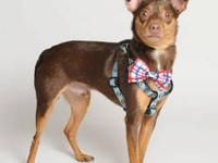 Miniature Pinscher - Bennie - Small - Adult - Male -