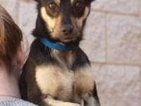 Miniature Pinscher - Benny - Small - Young - Male -