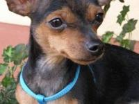 Miniature Pinscher - Brownie - Small - Young - Female -
