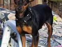 Miniature Pinscher - Buddy - Small - Young - Male -