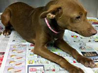 Miniature Pinscher - Candace - Small - Young - Female -
