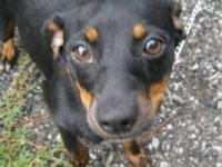 Miniature Pinscher - Cheyenne - Large - Adult - Female