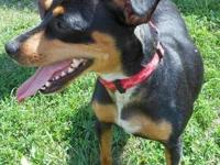 Miniature Pinscher - Daisy - Small - Adult - Female -