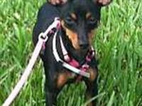 Miniature Pinscher - Daisy - Small - Baby - Female -
