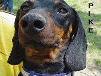Miniature Pinscher - Fido - Small - Young - Male - Dog