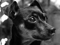 Miniature Pinscher - Foster A Minpin - Small - Adult -