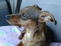 Miniature Pinscher - Gabbi - Small - Young - Female -